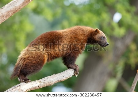 Wolverine looking out for prey - stock photo