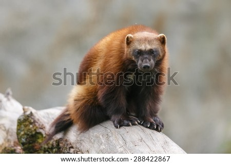 wolverine sitting on the dry trunk - stock photo