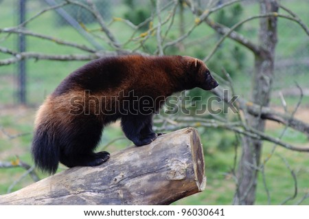 Wolverine standing on log - stock photo