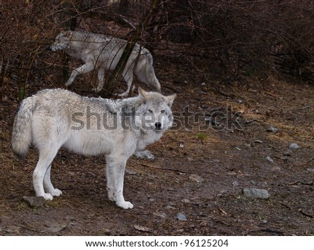 Wolves - stock photo