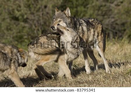 Wolves display bonding rituals - stock photo