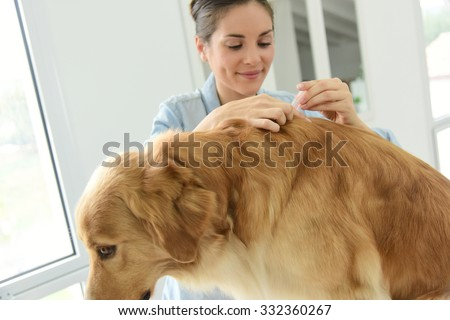Woman applying tick and flea prevention treatment to her dog - stock photo