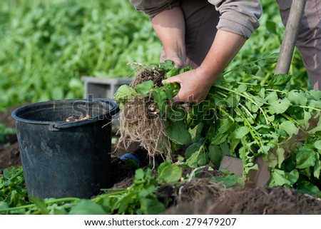 woman digging up new crop of potatoes on own small garden - stock photo
