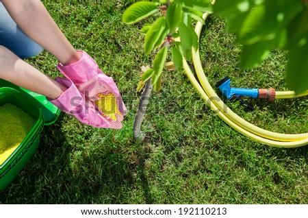 Woman gardener fertilizing young cherry tree, gardening concept - stock photo