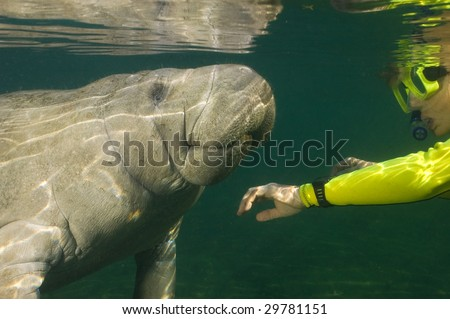 Woman greeting a manatee with reflections on the water's surface. - stock photo