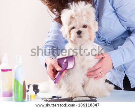 Woman grooming a dog purebreed maltese. - stock photo