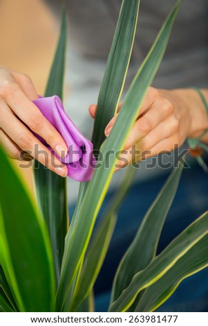 Woman hand cleaning flowers in the pot at her home - stock photo