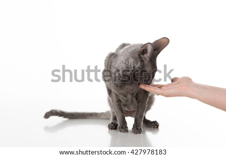 Woman Hand Feeding Black Cornish Rex Cat with food. White Background. - stock photo