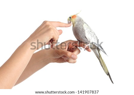 Woman hand holding a cockatiel bird nibbling her finger isolated on a white background - stock photo