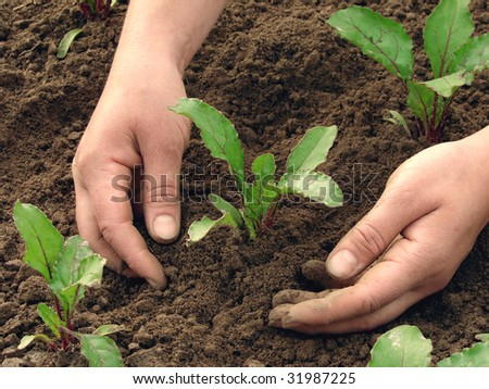 woman hands earthing beetroot sprouts closeup - stock photo