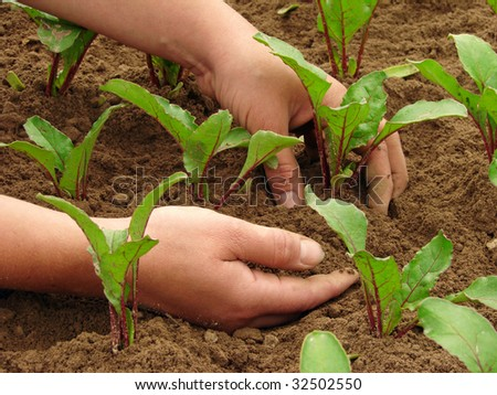 woman hands hoeing beetroot sprouts on the vegetable bed - stock photo