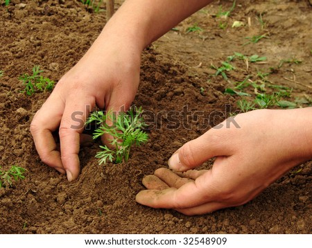 woman hands hoeing carrot sprouts on the vegetable bed - stock photo