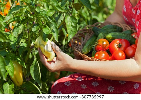 Woman hands picking fresh vegetables, peppers, tomatoes and cucumbers, in the garden - closeup - stock photo