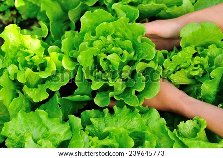 woman hands picking green lettuce in vegetable garden  - stock photo