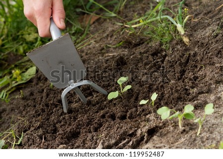 woman hands weeding the Japanese radish at the kitchen garden - stock photo