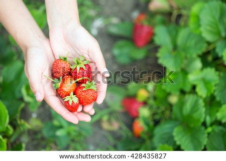 woman hands with strawberry in garden - stock photo