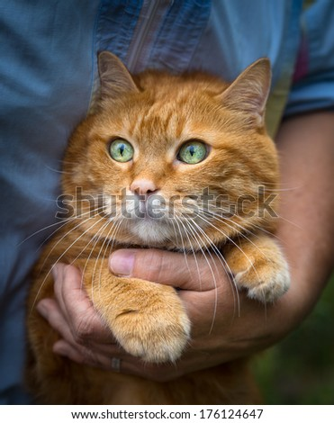 Woman holds a red cat. Selective focus.  - stock photo