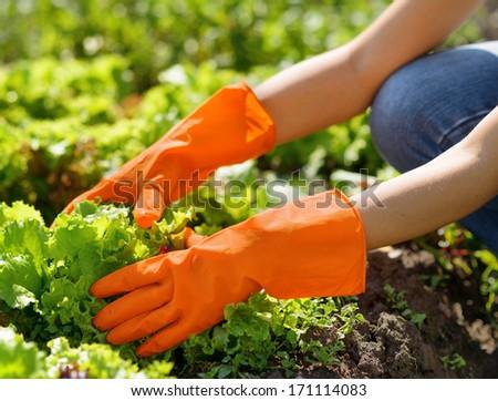 Woman in orange gloves working in the garden. - stock photo