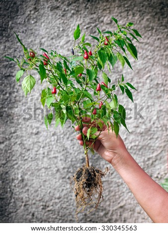 Woman is holding whole plant with red Tabasco chilies. - stock photo