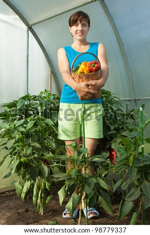 woman is picking of ripe pepper in the greenhouse - stock photo