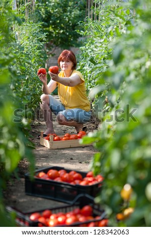 Woman picking fresh tomatoes in greenhouse - stock photo