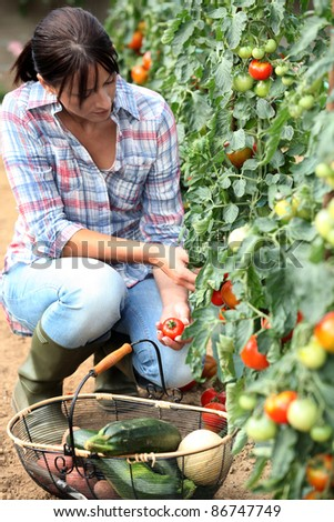 Woman picking tomatoes - stock photo