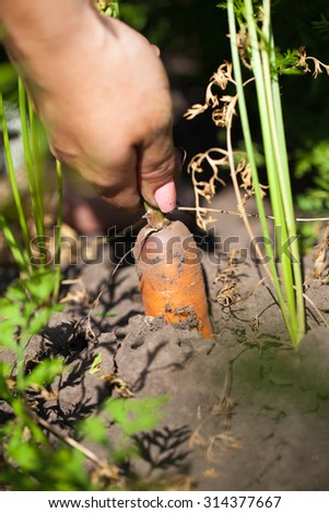 Woman pulls organic carrots from the garden - stock photo
