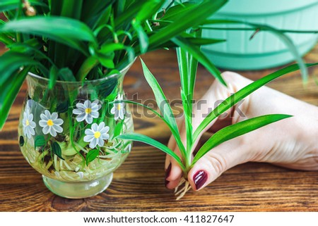 Woman's hand holding young green Spider Plant with roots, prepare for plant on ground. Potting Plant. Ecology World Environment Day Food Preserve Sustainable Development Wisdom Spring concept - stock photo