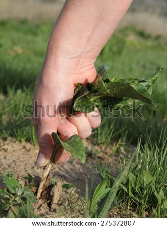 woman's hand pulling a large green weed - stock photo
