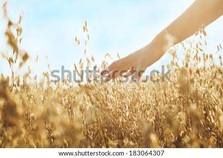 Woman's hand slide threw ears of wheat in sunset light - stock photo