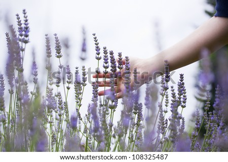 woman's hand touching lavender, 'feeling nature' - stock photo