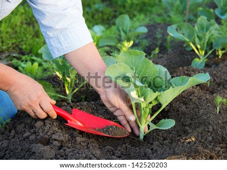 woman working in the garden. Planting of cabbage. - stock photo