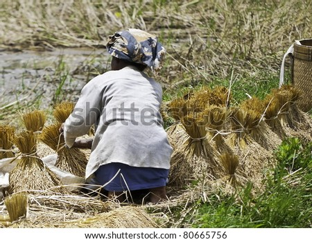 Woman working on collecting rice in third world country side, Indonesia - stock photo