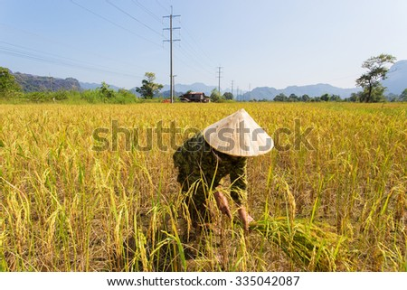 Woman  working on collecting rice in third world country side,Thailand. - stock photo