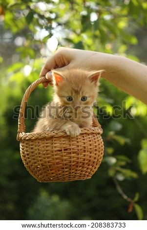Womans hand holding basket with small ginger kitten - stock photo