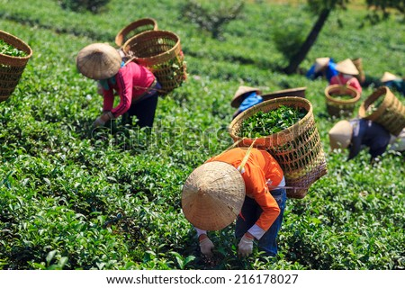 Women with conical hat and bamboo basket are harvesting tea leaf in Bao Loc, Lam Dong province, Vietnam. There are many tea fields in the countryside of Bao Loc, Lam Dong. - stock photo