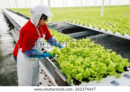 Women working manually industrial plant hydroponic lettuce - stock photo