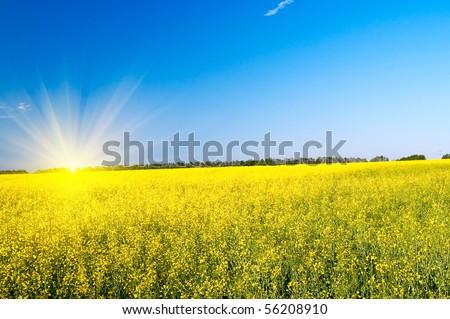 Wonderful  golden rapeseed field and fun sun. - stock photo