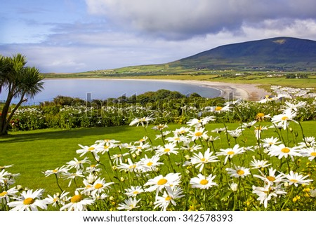 Wonderful landscape in Ventry, near Dingle in Ireland. Sandy bay is shown between joyful dasies on the foreground and a dark mountain on the background.  - stock photo