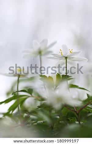 Wood anemone, windflower, thimbleweed, smell fox ( Anemone nemorosa ) - with perfect macro details on yellow steamens and blurred background  - stock photo
