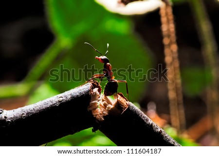 Wood ant on a broken branch. - stock photo