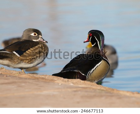 Wood Duck checking out a less colorful duck at the lake - stock photo