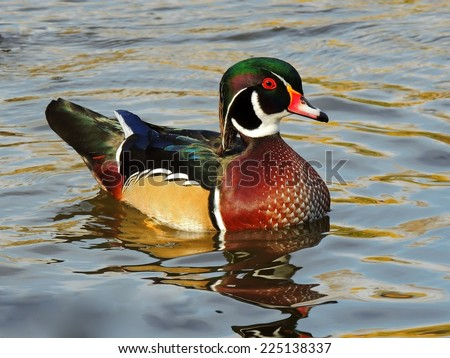 wood duck drake in Sterne park, Littleton,  colorado - stock photo