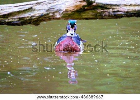 Wood duck male or Carolina duck is a species of perching duck found in North America. It is one of the most colorful North American waterfowl. They come to northern Canada to breed in summer in trees. - stock photo