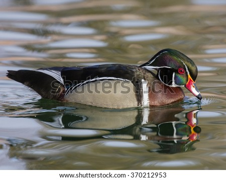 Wood Duck on the pond touching his bill to the water - stock photo