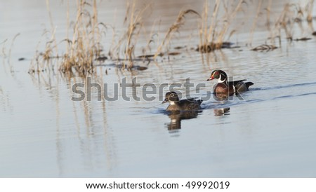 Wood Duck Pair - stock photo