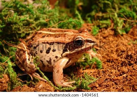 wood frog female - stock photo