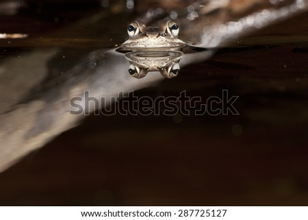 Wood frog , Rana sylvatica, in pond, with reflection, Central PA, controlled situation - stock photo