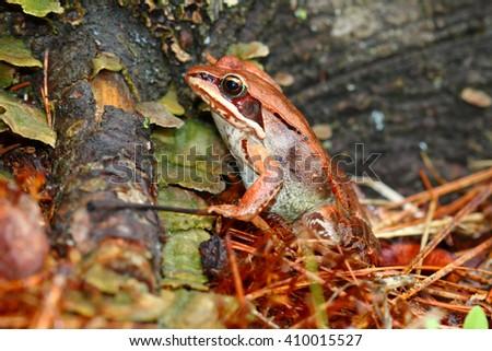 Wood Frog Wisconsin Wildlife - stock photo