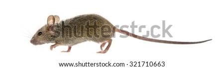 Wood mouse in front of a white background - stock photo